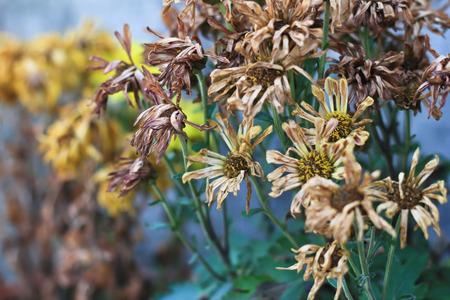 wizened: Whitered chrysanthemum flower Stock Photo
