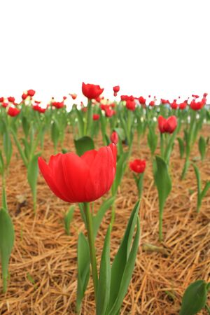 tulips field: Red tulips field with white background