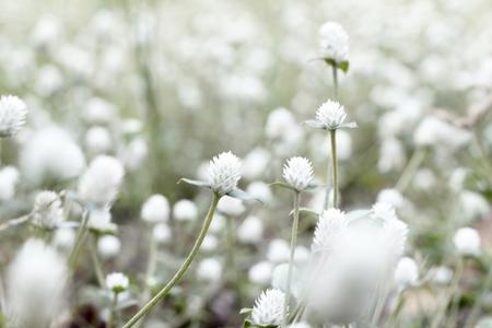 white feather: Campo de flor blanca sobre fondo borroso Foto de archivo