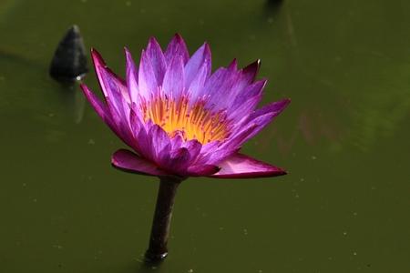 darken: Darken purple lotus in the swamp Stock Photo