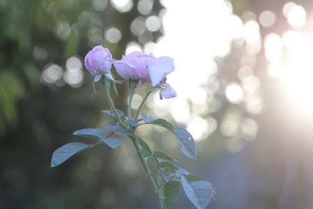 Purple roses with golden sunlight in the morning