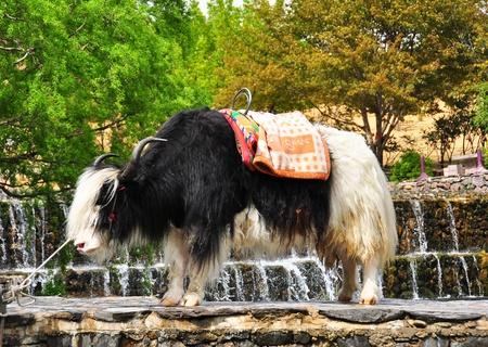 Tibetan local animal name Yak or Grunting Ox   Stock Photo