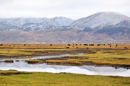 Landscape of grassland with a group of cattle and mountain background