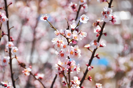 Close up of Cherry blossom or Sakura flower with sweet mood