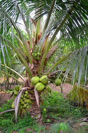 Coconut tree in the local agriculture farm