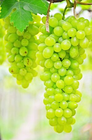 Close up of green grape in the vineyard  Stock Photo