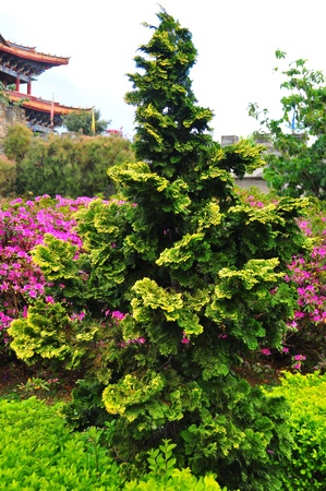 A beautiful Chinese pine tree with nice color
