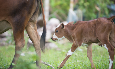 calf cow Stock Photo