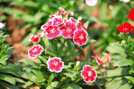 dianthus: Red Dianthus Chinensis Flowers