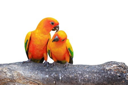 A Couple of Sun Conure- Parrots photo