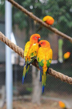 two parrots: Lovely Couple Sun Conure Parrots Stock Photo