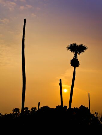 sugar palm: Silhouette of Sugar palm on sunset background