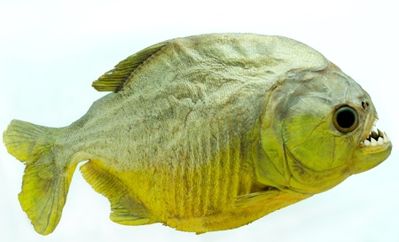 Piranha is side on isolated photo