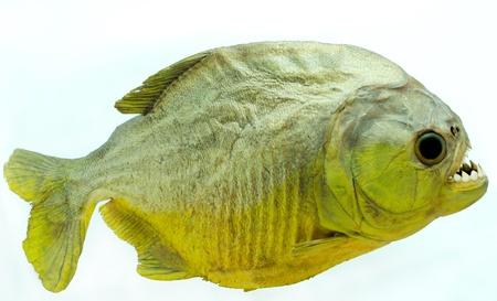 zatrważający: Piranha jest strona na izolowane