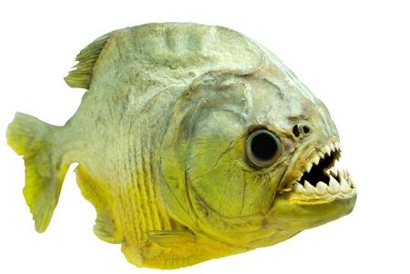 zatrważający: Piranha boczna na izolowane Zdjęcie Seryjne