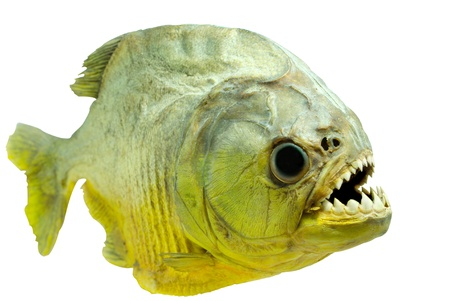 appalling: Piranha lateral on isolated Stock Photo