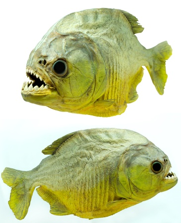 Piranha side on isolated photo