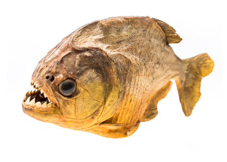 appalling: Piranha fish on isolated with white background