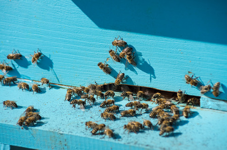 plenty: Plenty of bees at entrance of blue beehive in apiary Stock Photo