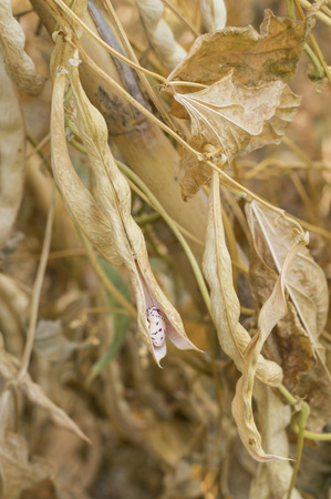 Dry colored beans in pods on a plant
