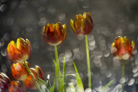 Abstract multy colored red and yellow tulips in a reflection of broken mirror with focus on the flowers Reklamní fotografie