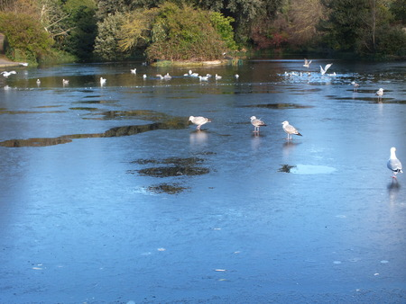 winter thaw: A heavy frost froze the Sussex pond and seagulls could not figure this out