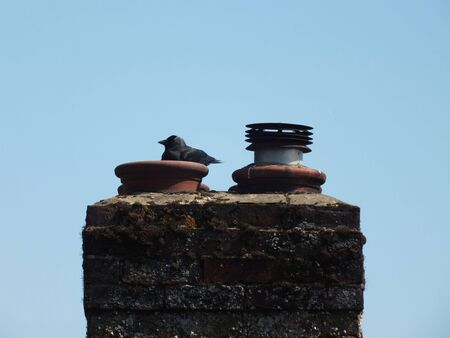roosting: A crow roosting on a gas fire chimneypot