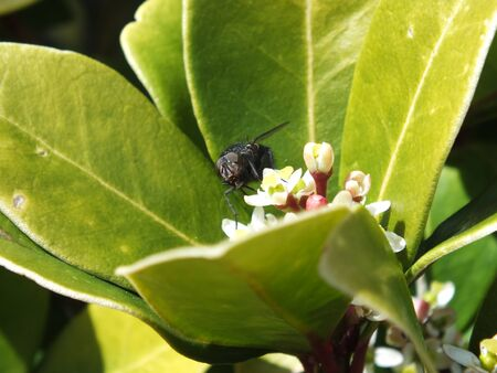 finding a mate: Blowfly finding nectar or pollen to survive to  mate