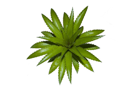 leaves pineapple with fresh green Stock Photo