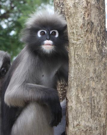 Close up Dusky leaf monkey Stock Photo