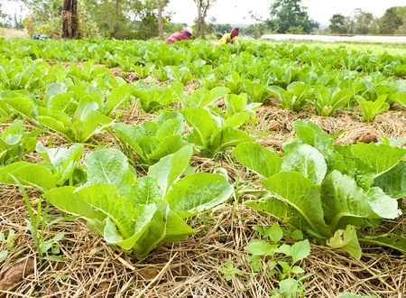 Lettuce field of The seven best weather in the world.WANGNAMKHIAO, THAILAND photo