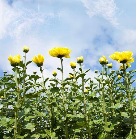 Kwiat chryzantemy z siedmiu pogodę najlepszy w world.WANGNAMKHIAO, Tajlandia Zdjęcie Seryjne