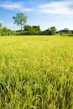 Paddy field,Nakhon Ratchasima THAILAND  photo
