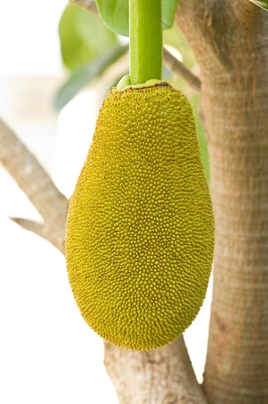 Young jack fruit on the tree   photo