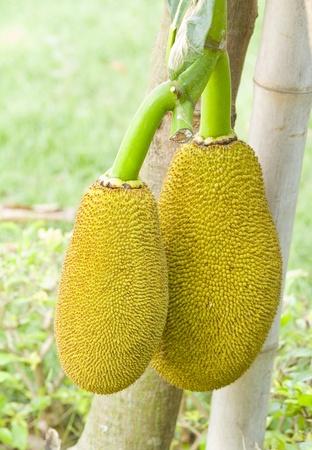Młody owoc gniazdo na drzewie