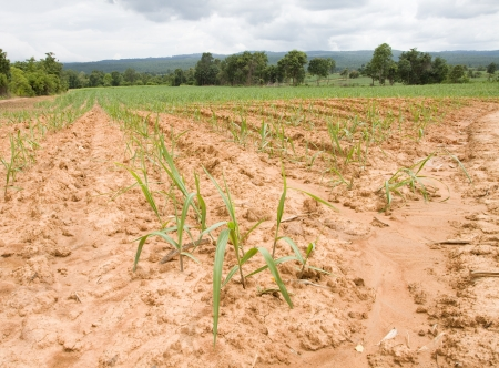 Young sugar cane field on Plateau   photo
