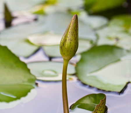 Young lotus  Stock Photo - 17666469