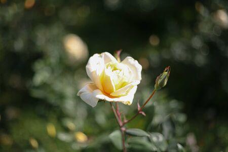 A beautiful creamy rose in the garden