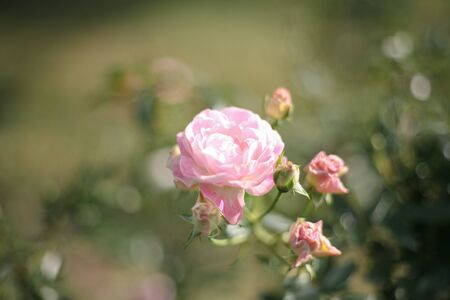 A beautiful pink rose in the garden Stock Photo