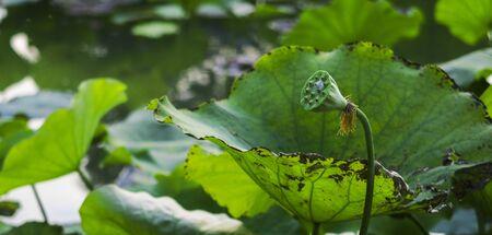 team lotus: Lotus pond