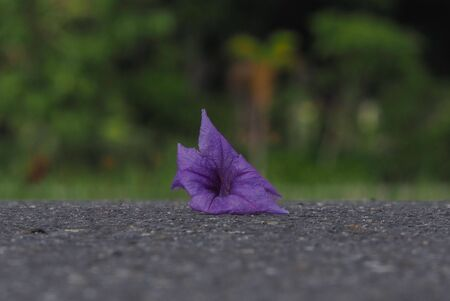 Purple flowers, petunias, on the streets in the park and blurred green backgrounds.