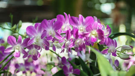 close up of beautiful white and purple orchids, dendrobium on bright background, in Orchid Farm Thailand. Zdjęcie Seryjne