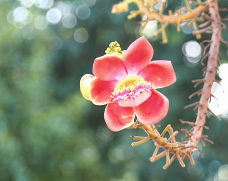 Beautiful close-up of Cannonball flowers, Couroupita guianensis, on blurred natural bokeh background, abstract.