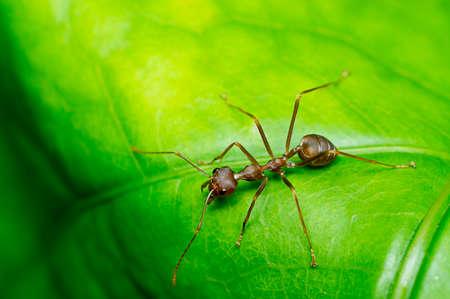 red ant: Hormiga roja en la hoja verde