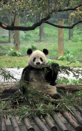 A Chinese giant panda at the Chongqing zoo photo