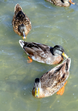 Canadian ducks in a lake in Ontario