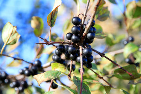 wildberry: A wildberry plant and its fruits