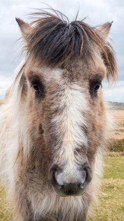 chestnut male: A wild Dartmoor pony stares at the camera, taken on Dartmoor in Devon and Cornwall, England.