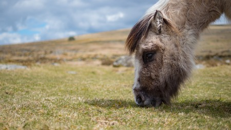 chestnut male: A wild dartmoor pony grazing grass on the moors