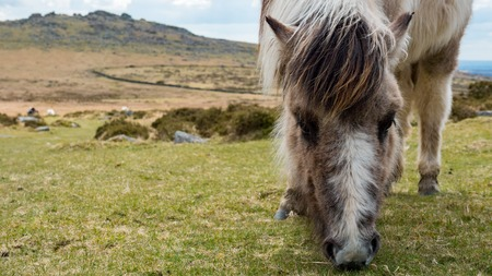 moors: A wild dartmoor pony grazing grass on the moors